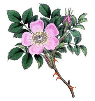 wild+rose+vintage+image+graphicsfairy006csm.jpg